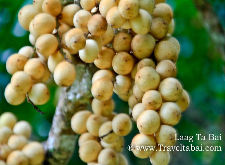 Lanzones Festival Camiguin Island, Lanzones Festival, sweetest Lanzones in the Island of Mindanao, Mantigue Island, camiguin island, how to harvest lanzones, opening of the Lanzones Festival, unlimited Lanzones,Benoni port